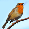 Mobile field guide Birds of Europe Songs, Calls and Voices on Play.Google