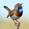 Mobile field guide Birds of Russia Songs, Calls and Voices on Play.Google