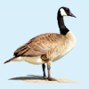 Mobile field guide Birds of North America: Songs and Calls Decoys on Play.Google