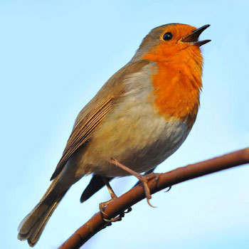 European Birds Sounds: Songs, Calls and Voices - mobile field guide