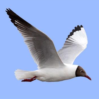 Birds of Europe PRO: Field Identification Guide - mobile application