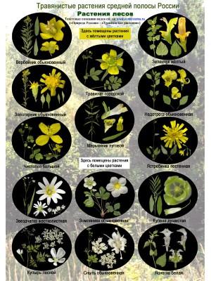 Цветы лесов