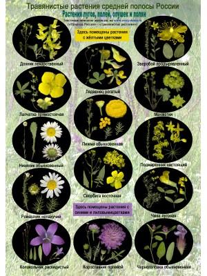 Цветы лугов