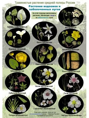 Цветы водоемов и болот