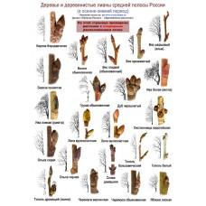 Деревья и деревянистые лианы в осенне-зимний период. Ламинированная определительная таблица.
