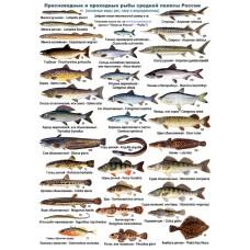 Пресноводные и проходные рыбы. Ламинированная определительная таблица